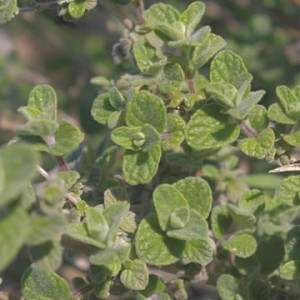 Sweet Marjoram and Oregano