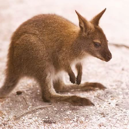 bennett's-wallaby