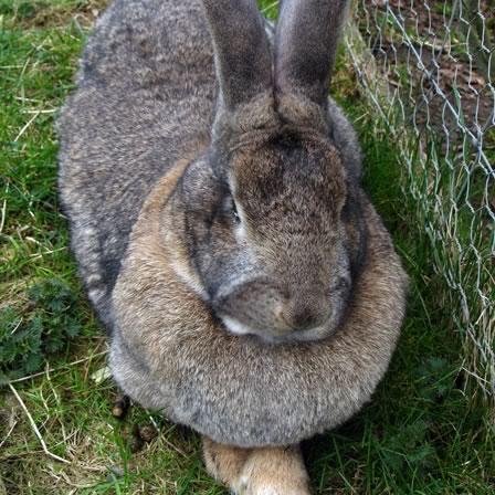 giant-rabbit