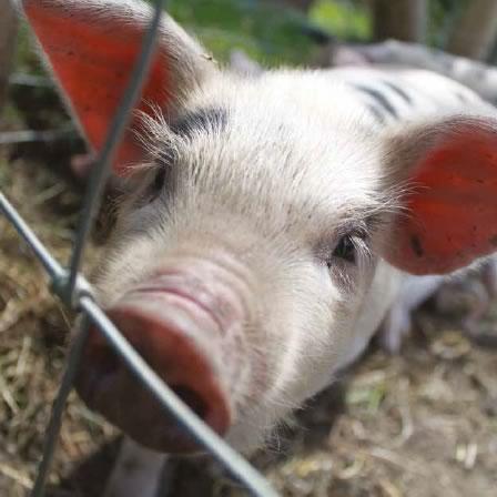 gloucester-pig