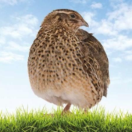 japanese-quail