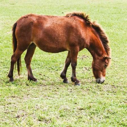 mini-horse