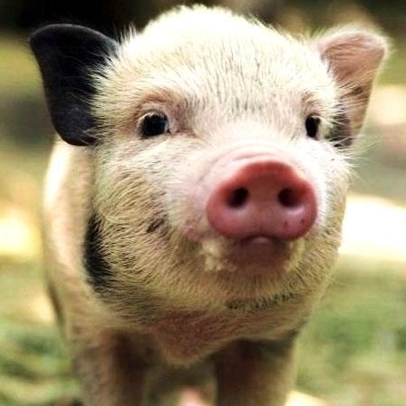 miniature-pig