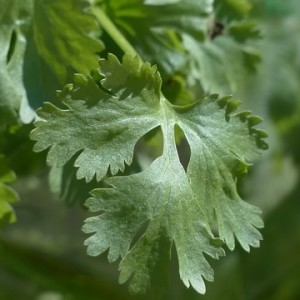 real-coriander