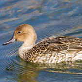 European Pintail