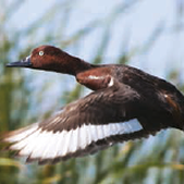 Fulvous Duck