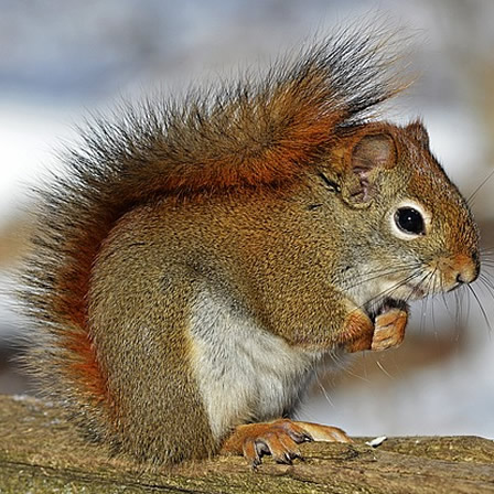 red-squirrel-570936_640